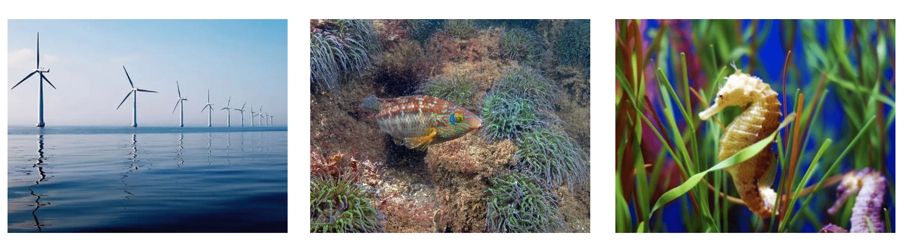 Three images, left to right: a marine wind farm; a male Corkwing Wrasse (courtesy of Paul Naylor); and a seahorse in seagrass